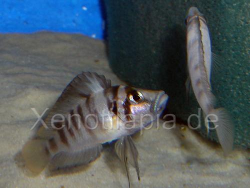 Altolamprologus spec Sumbu Shell