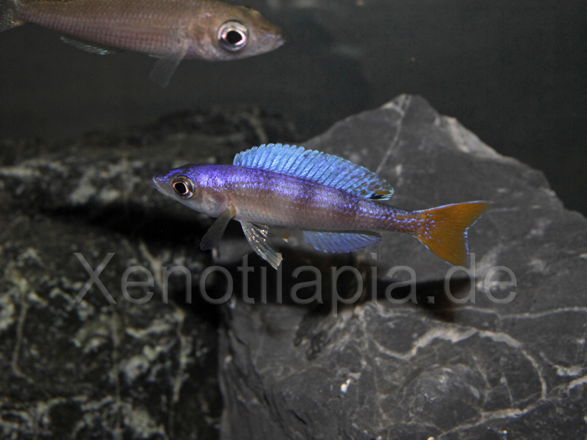 Cyprichromis leptosoma Utinta Red Tail