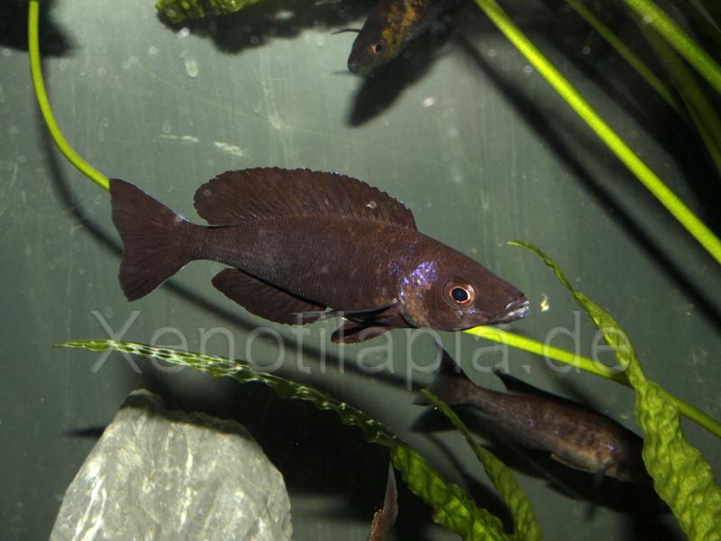 Cyprichromis microlepidotus Kiriza Black