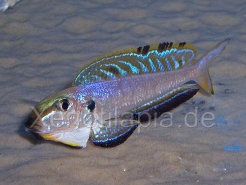 Enantiopus melanogenys Kekese