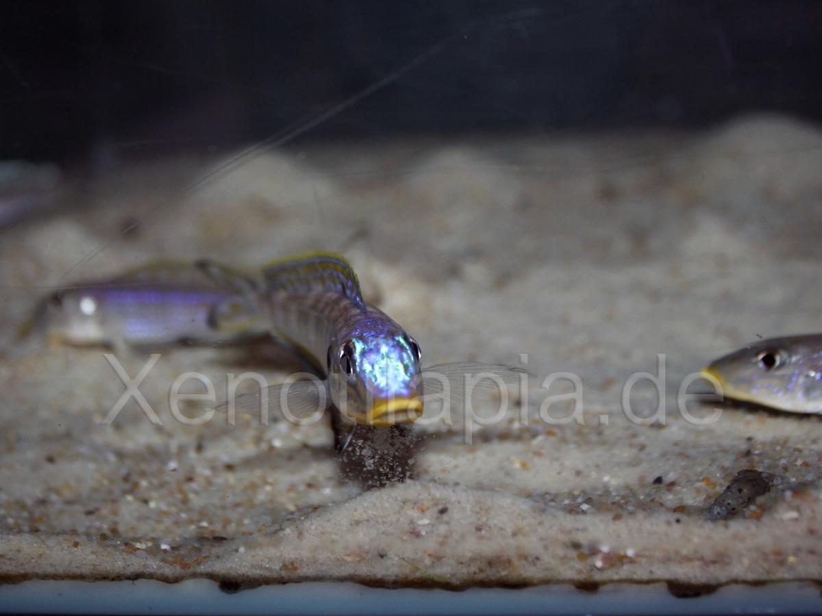 Enantiopus spec. Kilesa