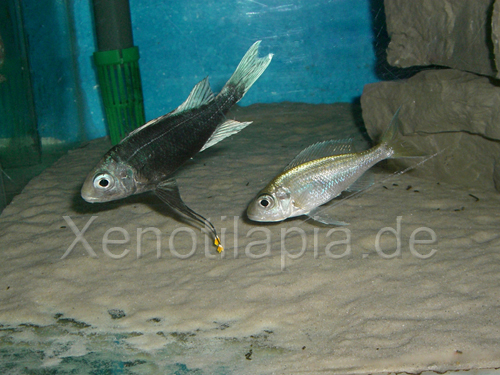 Ophthalmotilapia ventralis Nundo green