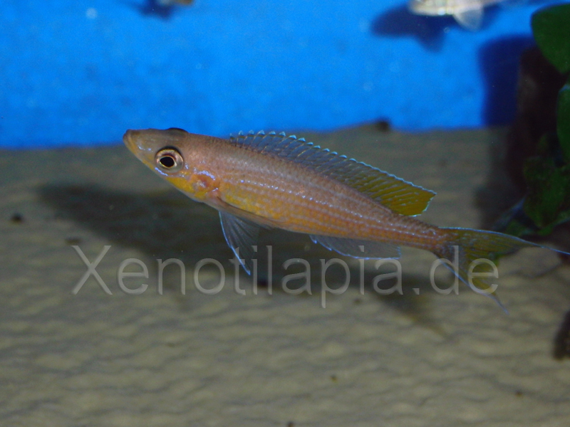 Paracyprichromis brieni Yellow Cheek Lusingu