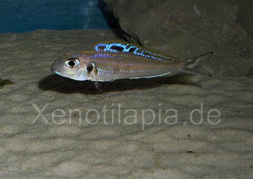 Xenotilapia bathyphilus Kongo