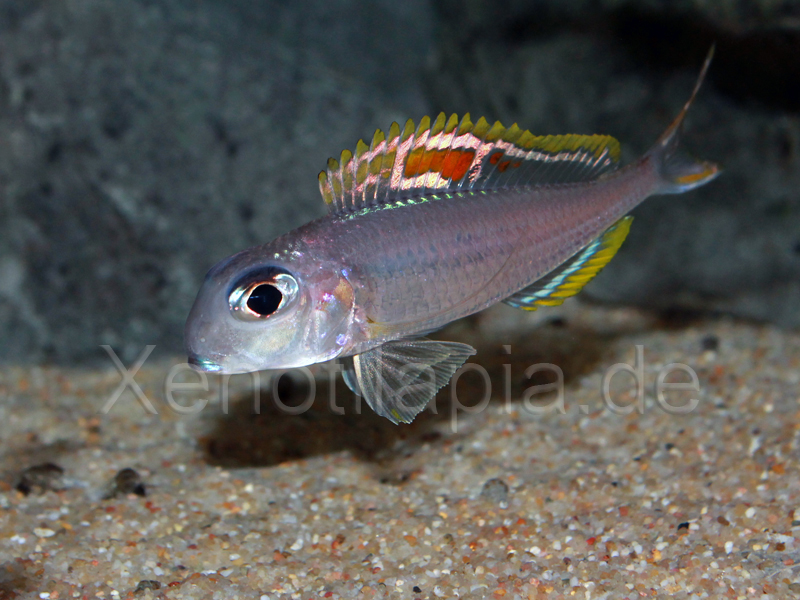 Xenotilapia nigrolabiata Red Princess